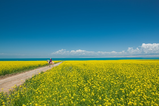 China_Canola-flower_560X373.jpg