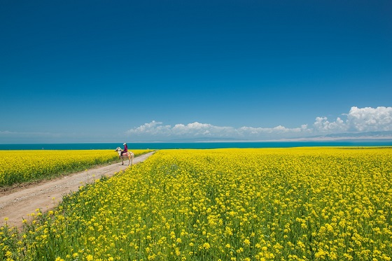Silk Road - Qinghai - Qinghai Lake rape field_560X373