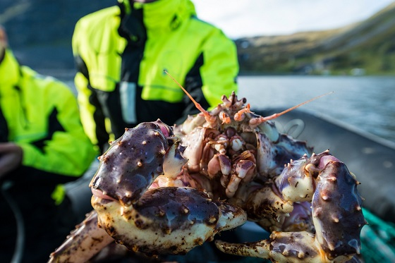 Norway_King Crab_560X373