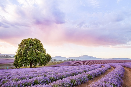 Bridestowe Lavender Estate_560x373
