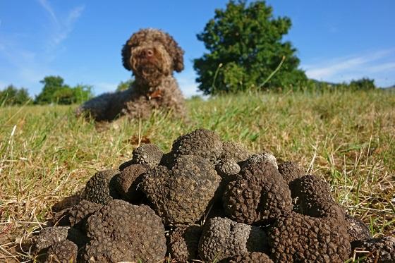 Croatia_Motovun_Truffle Sniffing Dogs1_560X373
